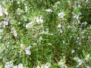 The herb 'Rosemary' bush, a commemorative emblem - a sprig is worn on Anzac Day