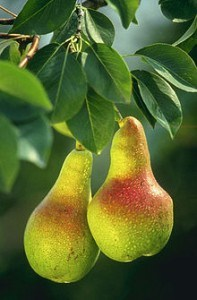 European pear tree (Wikipedia)