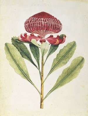 Waratah by George Raper - NLA